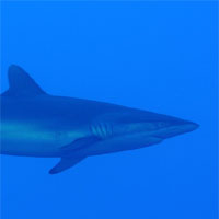 f-requin