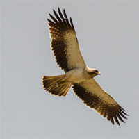 f-aigle